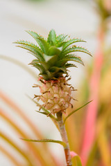Pineapple on a nature background. Macro image with small depth o