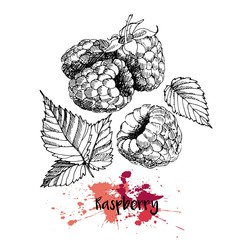 Vector illustration of raspberry. Isolated on white background. Engraving summer fresh vegetarian fresh fruit. Hand drawn engraving art. For cocktail, smoothie, desserts and salsds.