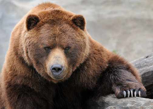 Grizzly bear portrait