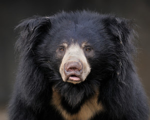 Sloth bear (Ursus ursinus) portrait