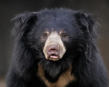 Sloth bear (Ursus ursinus) portrait
