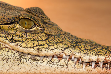 Nile crocodile (Crocodylus niloticus) profile closeup with teeth showing