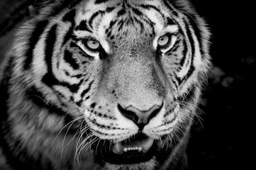 Regard du tigre