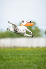 Jack Russell Terrier catching frisbee disk in jump