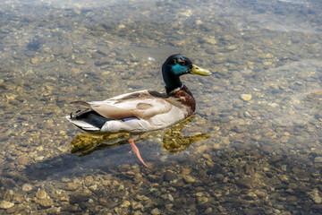 Male Duck Swimming
