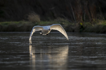 Swan flying across a pond