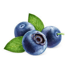 Hand-drawn illustration of Blueberries. Digitally colored.