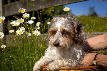 Sad looking little mutt being placed in basket outdoors with daisies and blue sky