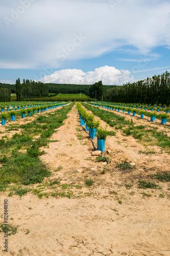 Plantation en charente champ