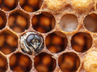 young bee in the comb