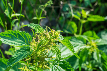 Brennesselpflanze