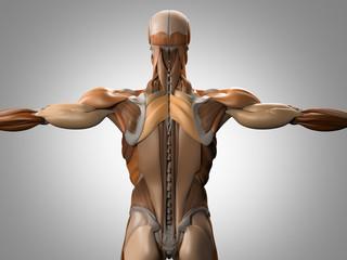 Human anatomy, torso back muscles. 3d illustration.