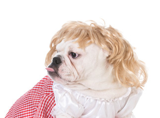 female english bulldog
