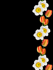 spring flowers narcissus isolated on black background