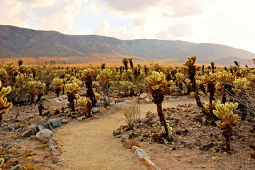 Cholla cactus garden at sunset at Joshua Tree National Park, California, USA
