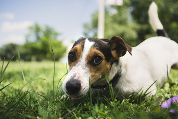 small dog breed Jack Russell Terrier lies on the grass and looking at the camera
