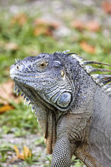 Iguana enjoying the Miami heat