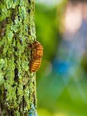 Seventeen-year cicada nymph climbing a tree just before molting