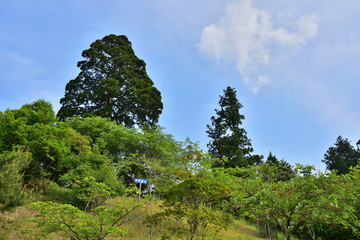 比叡山の弁慶杉