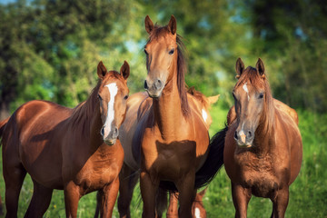 Fototapete - Portrait of three young don breed horses on the pasture in summer