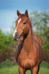 Fototapete - Portrait of beautiful don breed horse in summer