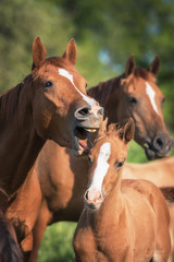 Funny picture of a yawning mare and its foal
