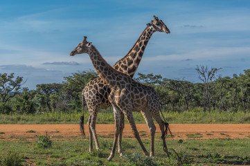 Giraffe teaching her offspring to fight in the Welgevonden Game Reserve in South Africa