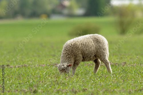 sheep stockfotos und lizenzfreie bilder auf bild 112911024. Black Bedroom Furniture Sets. Home Design Ideas