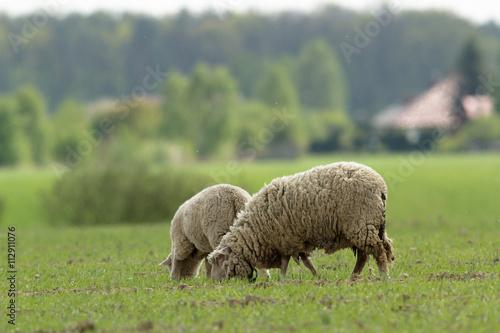 sheep stockfotos und lizenzfreie bilder auf bild 112911076. Black Bedroom Furniture Sets. Home Design Ideas