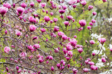 Spring magnolia flowers on the natural background. For this pict
