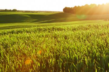 Piękne zielone pole zboża w promieniach zachodzącego słońca Wall mural