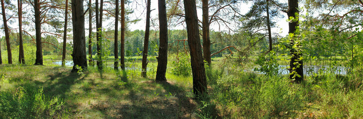 panoramic image of a pine forest in the summer