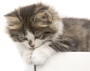 cat kitten pets domestic