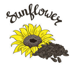 Vector hand drawn yellow sunflower and sunflower seeds.