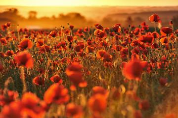 Czerwone pole maków o zachodzie słońca