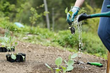 Gardener watering and fertilising freshly planted seedlings