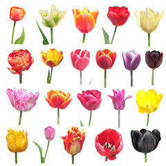 Set of different tulips isolated on white background. Tulip flowers