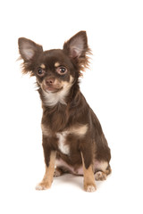 Cute sitting brown chihuahua dog isolated on a white background