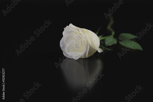 wei e rose auf schwarzem hintergrund mit spiegelung stock photo and royalty free images on. Black Bedroom Furniture Sets. Home Design Ideas