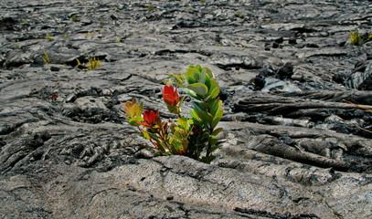 Blume im Vulkangestein