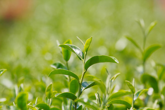 "Tea plant (Camellia sinensis var. sinensis / Chinese tea) the plant that use to produce aromatic beverage ""tea"""