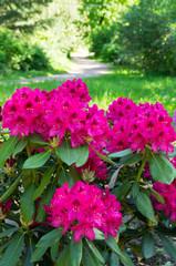 Rhododendron - garden decoration