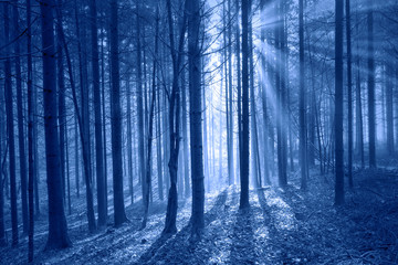 Mystical sun rays in forest landscape. Dark blue color filter used.