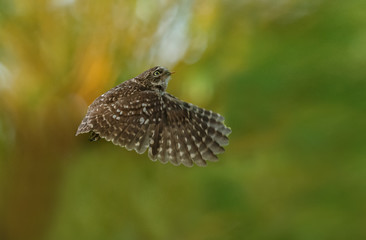 Little owl in nature in late sunlight