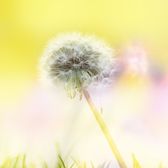 A beautiful fluffy dandelion with an artistic yellow background and blades of grass in the front.