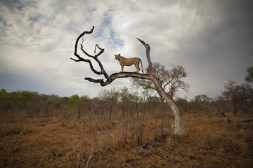 A female lion standing on bare branch