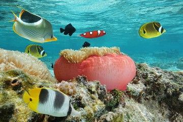 Colorful fishes with a sea anemone underwater in the lagoon, Pacific ocean, French Polynesia