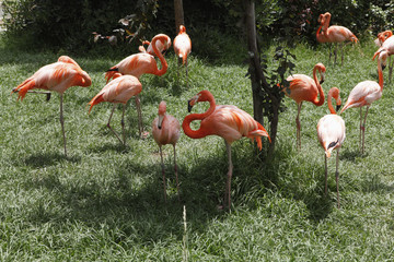 Flamingoes at a zoo