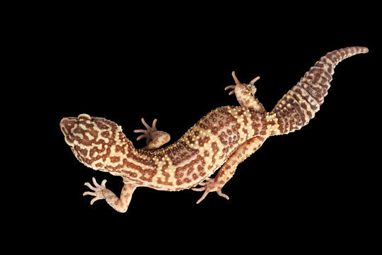 Closeup Leopard Gecko Eublepharis macularius Isolated on Black Background, Top view