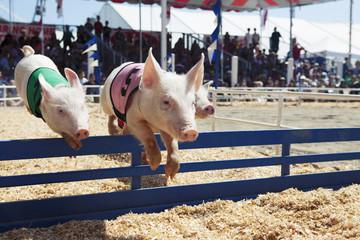 Pig race at the fair